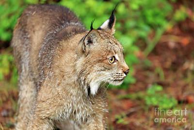 Canadian Lynx Photograph - Canada Lynx Lynx Canadensis by Louise Heusinkveld