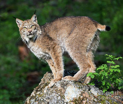 Photograph - Canada Lynx Perch by Art Cole