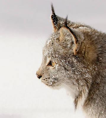Photograph - Canada Lynx Profile by Athena Mckinzie