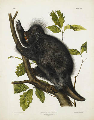 Drawing - Canada Porcupine by John James Audubon