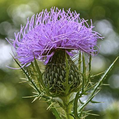 Photograph - Canada Thistle by Tana Reiff