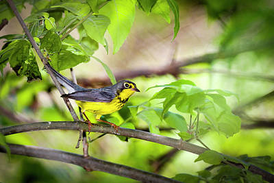 Photograph - Canada Warbler - Magee Marsh, Ohio -5/24/16 by Jack R Perry