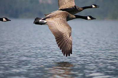 Photograph - Canada's Goose by Cathie Douglas