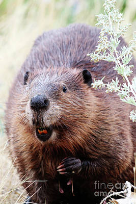 Photograph - Canadian Beaver by Alyce Taylor