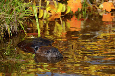 Beaver Photograph - Canadian Beaver Floating In A Pond With Reflected Maple Leaves by Reimar Gaertner
