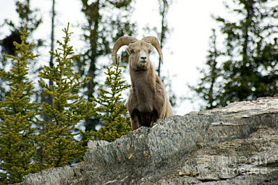 Photograph - Canadian Bighorn Sheep by David Birchall