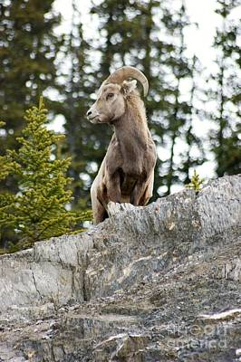 Photograph - Canadian Bighorn Side Profile by David Birchall