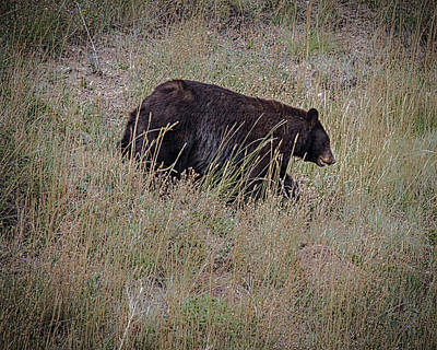 Photograph - Canadian Black Bear by Ronald Lutz