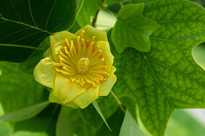 Photograph - Canadian Exotics - Extravagant Tulip Tree Bloom by Georgia Mizuleva