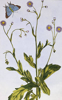 Weed Drawing - Canadian Fleabane by Pierre-Joseph Buchoz