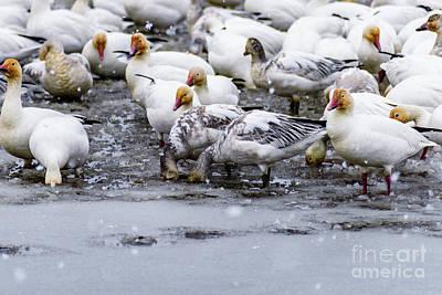 Keith Richards - Canadian geese 3 by Viktor Birkus