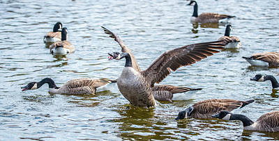 Photograph - Canadian Geese Do Not Like Dc Politics by Jeff at JSJ Photography