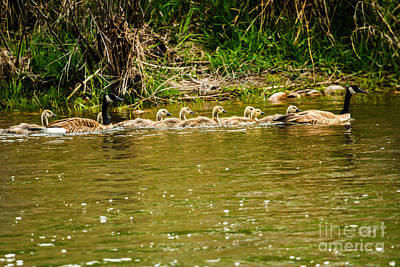 Photograph - Canadian Geese Family by Robert Bales