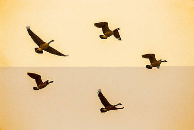 Photograph - Canadian Geese Flying by John Brink