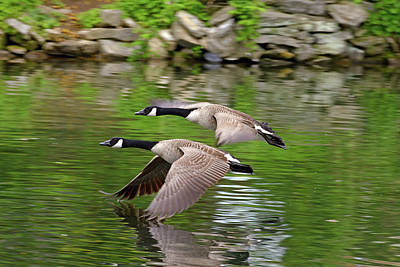 Photograph - Canadian Geese In Flight by Bill Jordan