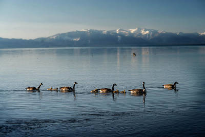 Photograph - Canadian Geese In Lake Tahoe With Babies by Dan Friend