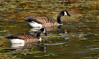 Ganders Photograph - Canadian Geese by Kristin Elmquist