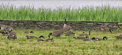 Branta Photograph - Canadian Geese by Martin Newman