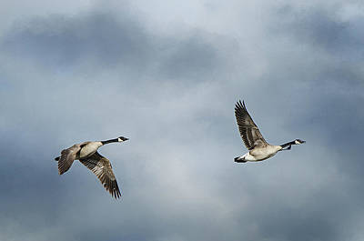 Photograph - Canadian Geese by Susan McMenamin
