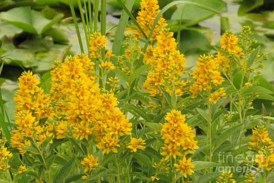Photograph - Canadian Goldenrod by Frank Townsley