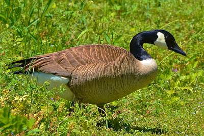 Photograph - Canadian Goose by Eileen Brymer