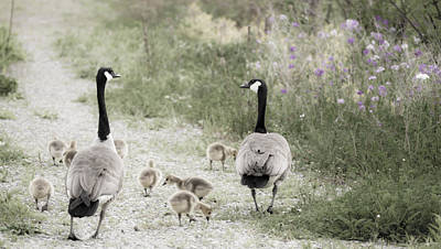 Canadian Goose Family Out For A Stroll Art Print by Tracy Winter
