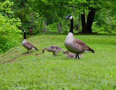 Pasta Al Dente Royalty Free Images - Canadian Goose Gaggle at Hollins Mill Park Royalty-Free Image by Mandy Elliott