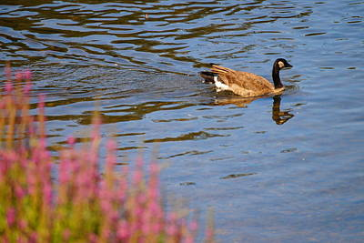 Door Locks And Handles Rights Managed Images - Canadian Goose II Royalty-Free Image by Beth Collins