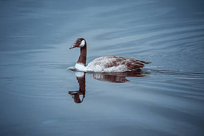 Photograph - Canadian Goose In Ir by Brian Hale