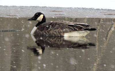 Canadian Goose In Michigan Art Print