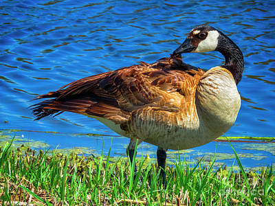 Photograph - Canadian Goose by Kasia Bitner