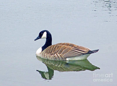 Photograph - Canadian Goose by Kay Novy