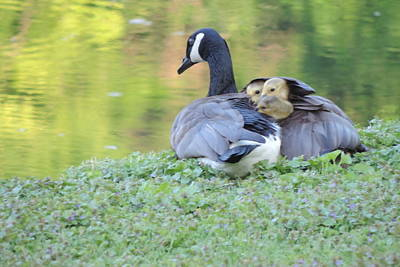 Photograph - Canadian Goose Mother And Babies by Randy J Heath