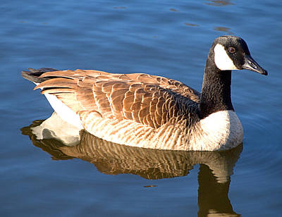 Photograph - Canadian Goose by  Newwwman