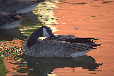 Photograph - Canadian Goose On Sunset Reflection Pond by Lori Seaman