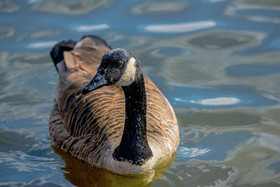 Photograph - Canadian Goose Portrait by Jeff at JSJ Photography