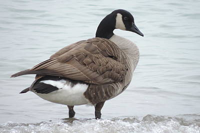 Photograph - Canadian Goose by Randy J Heath