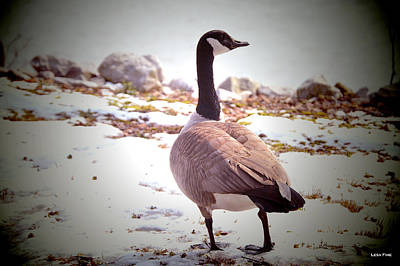 Duck Photograph - Canadian Goose Snow Stroll by Lesa Fine