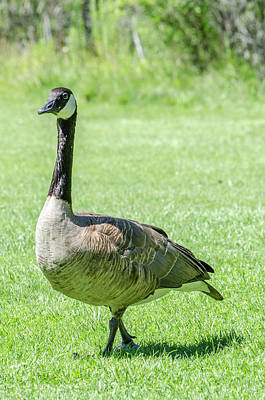 Photograph - Canadian Goose by Steven Brodhecker