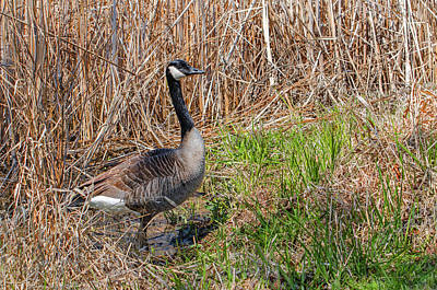 Photograph - Canadian Goose by Susan McMenamin