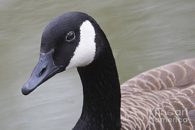 Canadian Geese Photograph - Canadian Goose by Twenty Two North Photography