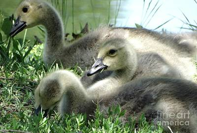 Photograph - Canadian Goslings In Spring by Rebecca Overton