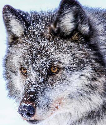 Canadian Grey Wolf In Portrait, British Columbia, Canada Art Print