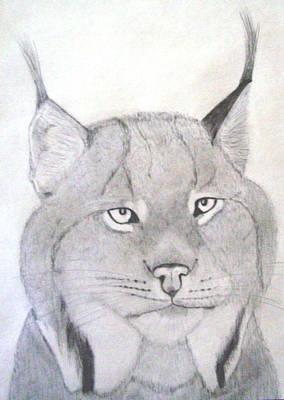 Canadian Lynx Drawing - Canadian Lynx by Gary Stull