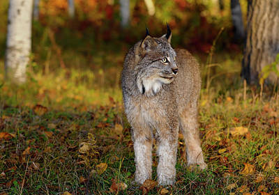 Lynx Photograph - Canadian Lynx Standing In A Clearing By A Colorful Autumn Forest by Reimar Gaertner