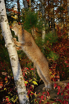 Lynx Photograph - Canadian Lynx Standing On Hind Feet Looking Up A Birch Tree In A by Reimar Gaertner