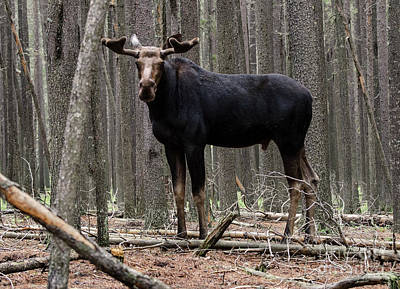 Photograph - Canadian Moose 2 by Bob Christopher