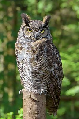 Photograph - Canadian Owl  by Chris Buff