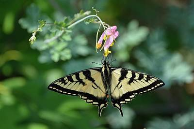 Photograph - Canadian Tiger Swallowtail Butterfly by David Porteus
