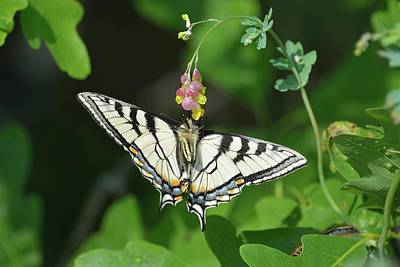 Photograph - Canadian Tiger Swallowtail Butterfly-underside by David Porteus